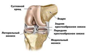 Устройство мениска коленного сустава